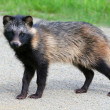Raccoon Dog - Stock Photo
