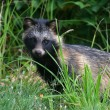 Raccoon Dog — Stock Photo #6056868