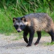 Raccoon Dog — Stock Photo #6056874