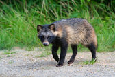 Raccoon Dog — Stock Photo
