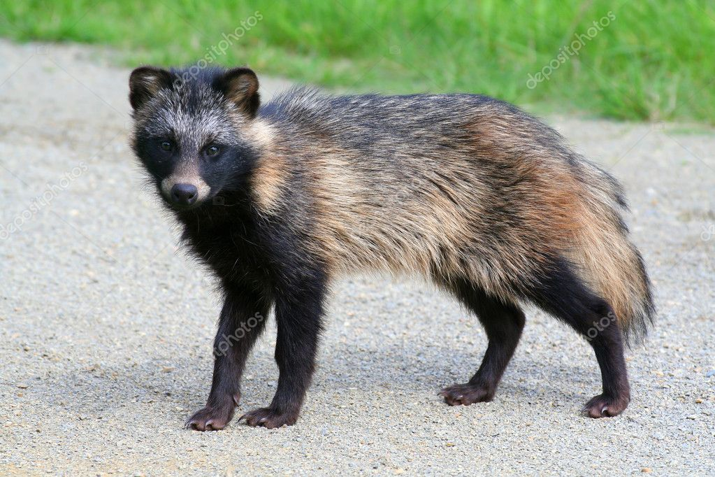 Raccoon Dog on road  Stock Photo #6056860