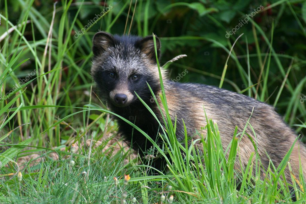 Raccoon Dog in a grass — Stock Photo #6056868