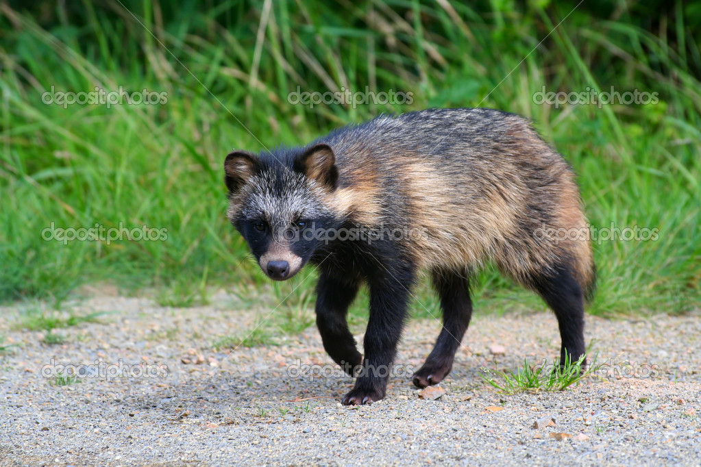 Raccoon Dog on road — Stock Photo #6056874