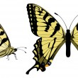 Canadian Tiger Swallowtail — Stock Vector