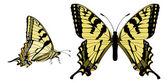 Canadian Tiger Swallowtail — Stock Vector