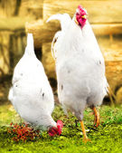 Rooster and hen on the green grass — Stock Photo