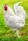 Beautiful white rooster on the green grass — Stock Photo