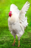 White rooster flaps its wings — Stock Photo