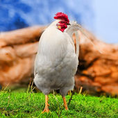 White rooster on the green grass — Stock Photo
