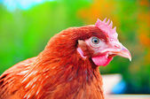 Chicken on a bright green background — Stock Photo