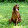 Stock Photo: Red setter