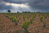 Vineyard before a storm. — Stock Photo