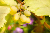 Bunch of chardonnay grapes — Stock Photo