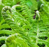 緑のシダ — ストック写真