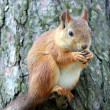 Squirrel - Foto Stock