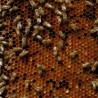 Honeycomb with bees — Stock Photo #5752469