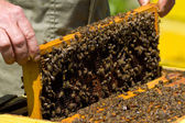 Honeycomb with bees — Stock Photo