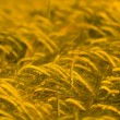Wheat field ready for harvest - Foto Stock