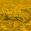 Wheat field ready for harvest — Stock Photo #5831062