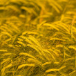 Wheat field ready for harvest — Stock Photo #5831091