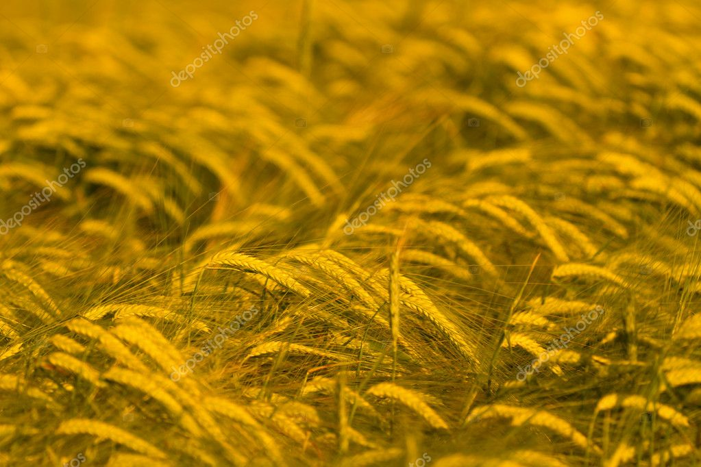 Wheat field ready for harvest — Stock Photo #5831060