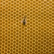 Honeycomb with bee — Stock Photo