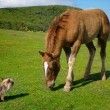 Yorkie vs horse - Stock Photo