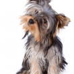 Постер, плакат: Yorkshire Terrier