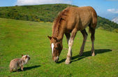 Yorkie vs horse — Stock Photo