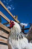 Kip in de farm — Stockfoto