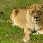Постер, плакат: Lioness Wild Cat Laid Down