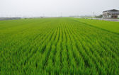 Rice field — Fotografia Stock