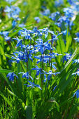 Blue scilla flowers — Stock Photo
