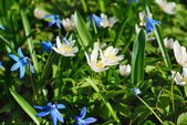 Wood anemone and blue scilla flowers — Stock Photo