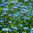 Royalty-Free Stock Photo: Background with forget-me-not