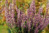 Purple heather flowers — Photo