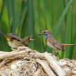 Stock Photo: Bluethroat feeding nestling