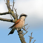 Singing red-backed shrike (Lanius collurio) — Stock Photo #5623948