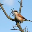 Red-backed shrike sitting on a branch — Stock Photo #5625673