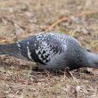 Постер, плакат: Rock Pigeon Rock Dove