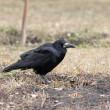Carrion Crow — Stock Photo