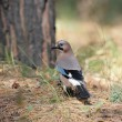 Eurasian Jay — Stock Photo #5626289
