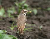 Bluethroat (Luscinia svecica) — Stock Photo