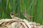 The bluethroat feeding the nestling — Stock Photo