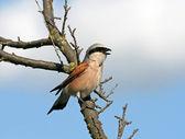 Singing red-backed shrike (Lanius collurio) — Stock Photo