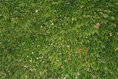 Vine-leaves — Stock Photo