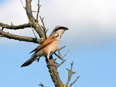 Red-backed shrike sitting on a branch — Stock Photo