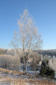 Huş ağacı kışın — Stok fotoğraf