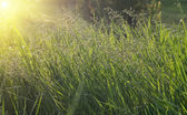 Green grass and yellow sunlight — Stock Photo