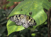 Butterfly (Paper Kite) on a green leaf — Stock Photo